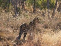 Jeune léopard mâle Images libres de droits