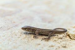Jeune lézard de sable brun sur une terre arénacée dans le sauvage Photographie stock libre de droits