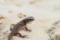Jeune lézard de sable brun sur une terre arénacée dans le sauvage Images libres de droits