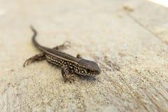 Jeune lézard de sable brun sur une terre arénacée dans le sauvage Image stock