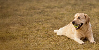 Jeune Labrador Photo libre de droits
