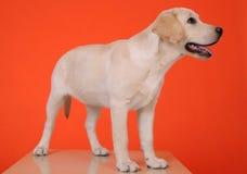 Jeune Labrador Photo stock
