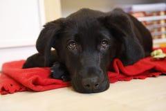 Jeune Labrador noir Image libre de droits