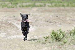 Jeune Labrador noir fonctionnant dans la campagne Photographie stock libre de droits