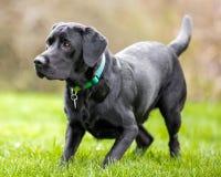 Jeune Labrador noir regardant attentivement quelque chose au côté photographie stock libre de droits