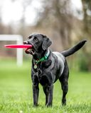 Jeune Labrador noir tenant un regard frisby sur le côté photos stock