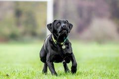 Jeune Labradorseeing noir quelque chose chasser peut-être une boule ou frisby image stock
