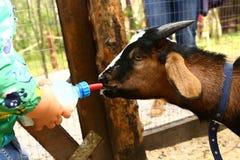 Jeune lait de boissons de chèvre de bébé de bollte de mamelon Photos libres de droits