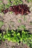 Jeune laitue verte et rouge de salade s'élevant dans le jardin Photos stock
