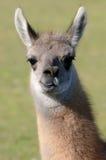 Jeune lama Photo libre de droits