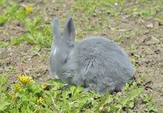 Jeune lapin 8 Photos libres de droits