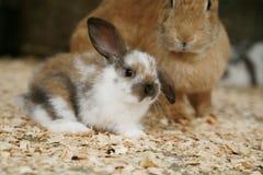 Jeune lapin Images libres de droits