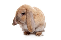 Jeune lapin brun Photo stock