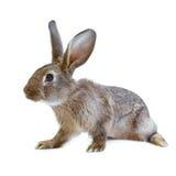 Jeune lapin brun européen sur le fond blanc photos stock