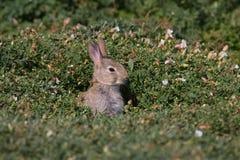 Jeune lapin européen Image libre de droits