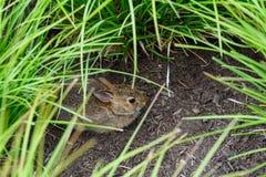 Jeune lapin indigène se cachant dans les herbes ornementales dans un jardin, Washington State, Etats-Unis photo libre de droits