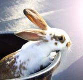 Jeune lapin jetant un coup d'oeil hors d'une position Photographie stock libre de droits