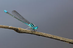 Jeune libellule bleu-clair Image libre de droits