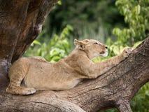Jeune lion Photo libre de droits