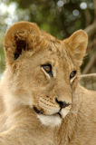 Jeune lion Photo stock