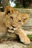Jeune lion Photos stock