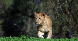Jeune lion Images stock