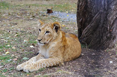 Jeune lion Photographie stock