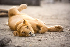 Jeune lion photos stock