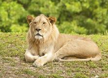 Jeune lion mâle Photos libres de droits