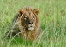 Jeune lion masculin Photographie stock libre de droits