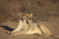 Jeune lion masculin dans le désert Photos stock