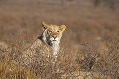 Jeune lion masculin dans le désert Photographie stock libre de droits