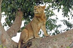 Jeune lion masculin dans un arbre Image libre de droits