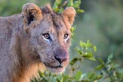 Jeune lion masculin en parc national de Kruger Image stock