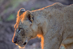 Jeune lion masculin en parc national de Kruger Images libres de droits