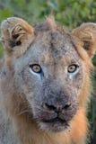 Jeune lion masculin en parc national de Kruger Photo libre de droits