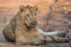 Jeune lion masculin en parc national de Kruger Photo stock