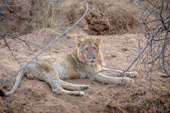 Jeune lion masculin s'étendant dans le sable photographie stock