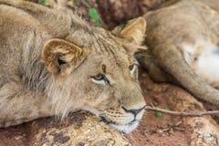 Jeune Lion Resting dans le repos de l'Afrique Images stock