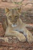 Jeune Lion Resting en Afrique Photos libres de droits