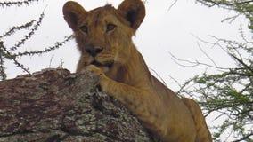 Jeune lion sur l'arbre clips vidéos