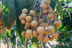 Jeune longan de fruits tropicaux dans Lamphun, Thaïlande photos libres de droits