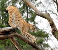 Jeune lynx Photo stock