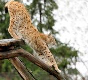 Jeune lynx Photographie stock libre de droits
