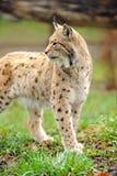 Jeune lynx Image stock
