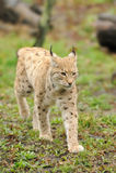Jeune lynx Photos libres de droits