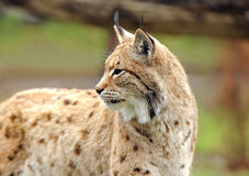 Jeune lynx au printemps Photo libre de droits