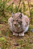 Jeune lynx eurasien Photographie stock