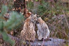 Jeune lynx eurasien Image libre de droits