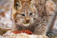 Jeune lynx eurasien mangeant de la viande dans la forêt à l'hiver tôt photos libres de droits